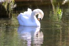 11-swan