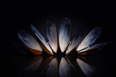 Mussel shells still life, artistic photo with reflection.