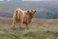 11_Highland-Calf