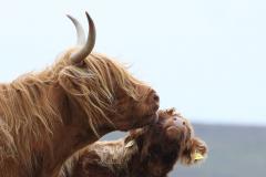 11_Highland-Love
