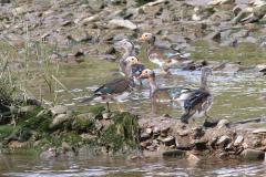 11_Juvenile-Mandarin-Ducks