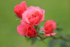 11_Rose