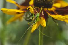 26_Grasshopper