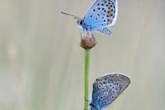Silver-studded Blue Butterflies - Plebejus argus, at dusk.