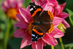 C-05_Red-Admiral