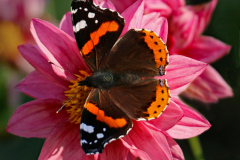 05_Red-Admiral