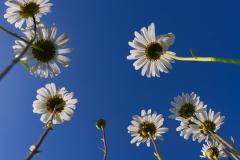 23_Daisy-Skyscape