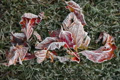 04_Frosty-Leaves