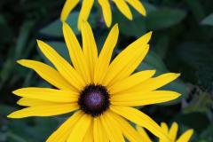 05_Yellow-Daisies