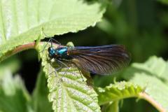 11_damsel-fly