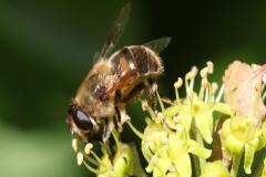 11_honey-bee