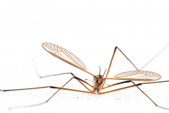Crane fly also known as Daddy Long Legs. UK.