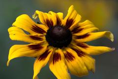Summer Daisy2
