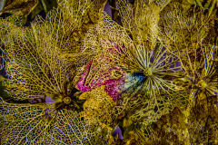 31_Hydrangea-petal-lace